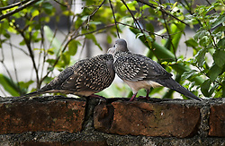 September 29, 2018 - Guwahati, Assam, India - A Pair of Indian spotted dove (Spilopelia chinensis) perching on a building in Guwahati, Assam, India on September 29, 2018. The spotted dove is a long-tailed pigeon that is a common resident breeding bird across its native range on the Indian subcontinent and Southeast Asia. (Credit Image: © David Talukdar/NurPhoto/ZUMA Press)