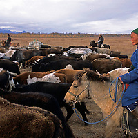 MONGOLIA.  Batnasan, a widowed nomad, leads family herds on 10 day migration  over Horidal Saridag Mts. to winter camp.