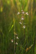 "Blooming Marsh Helleborine (Epipactis palustris) in sedge mire on sunset, at ""Lielezers"" by Limbaži, Latvia Ⓒ Davis Ulands | davisulands.com"