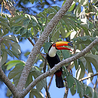South America, Brazil, Pantanal.  A Toco Toucan overlooks the Aquidauana River of the Pantanal.