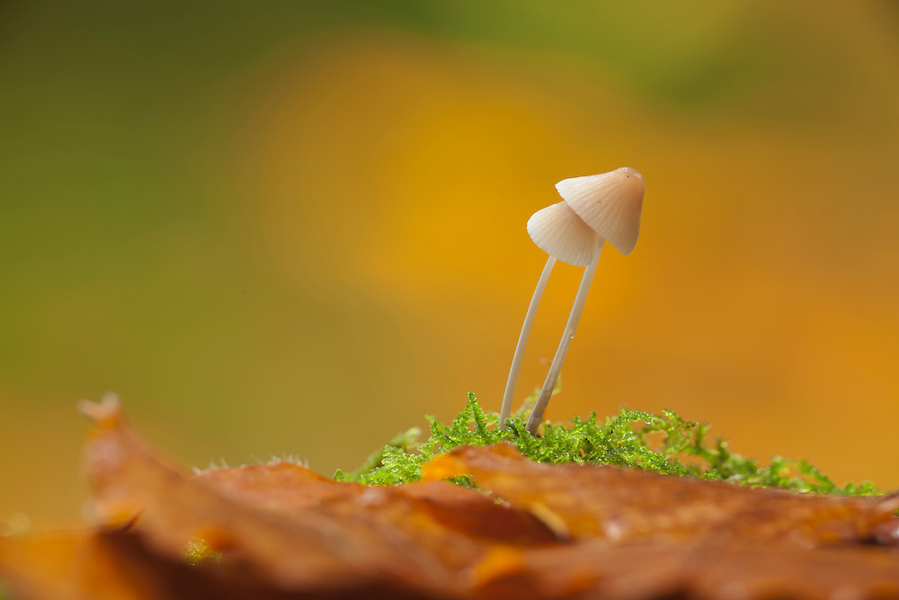 Two mushrooms , Milking Bonnet, Mycena galopus, stuck together  in moss against orange and green background with leaves in the foreground.