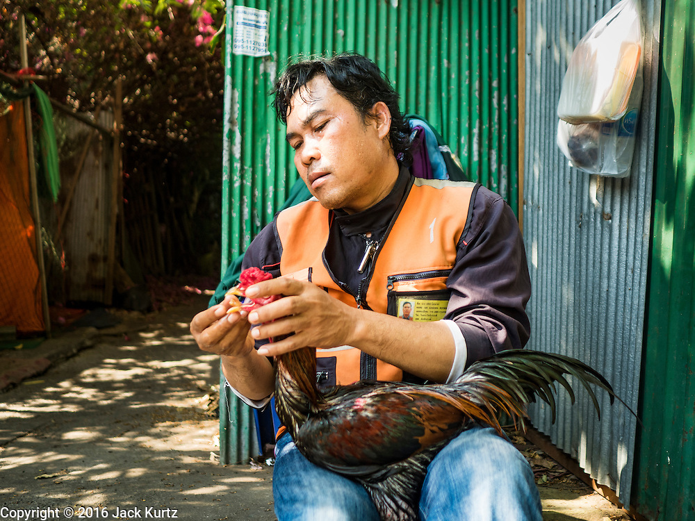 09 MARCH 2016 - BANGKOK, THAILAND: A motorcycle taxi driver feeds his fighting cock in the Pom Mahakan community in Bangkok. The community of about 50 families was once known as the cockfighting center of Bangkok. Gambling, is now prohibited by the military government and cockfighting is not as popular as it once was. Cockfights are still staged in clandestine pits in Bangkok but outside of Bangkok cockfights are common.    PHOTO BY JACK KURTZ