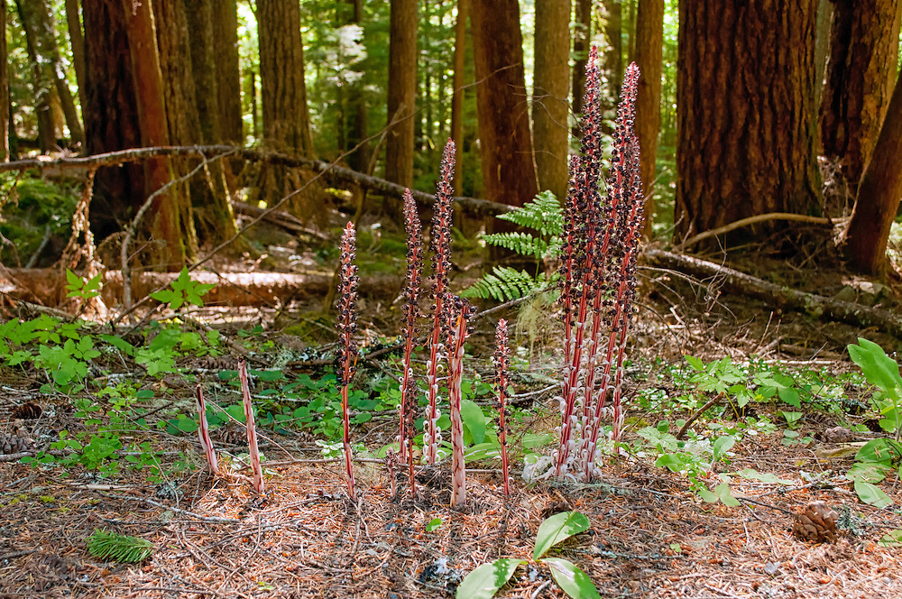 The candystick, also know as the sugarstick,  candystriped allotropa, barber's pole and even devil's wand is an infrequently-found saprophyte in the Pacific Northwest.