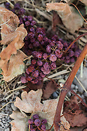 dried grape cluster left after crop thinning prior to harvest.