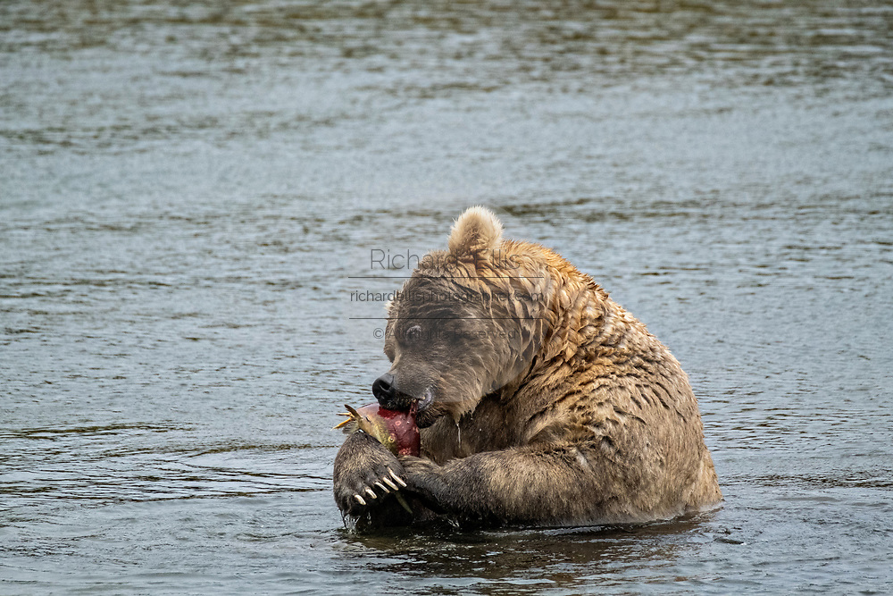 A female adult Brown Bear known as 435 Holly, eats a Sockeye Salmon in the lower Brooks River at in Katmai National Park and Preserve September 15, 2019 near King Salmon, Alaska. The park spans the worlds largest salmon run with nearly 62 million salmon migrating through the streams which feeds some of the largest bears in the world.