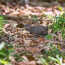 """""""Inhambuguaçu Jovem (Crypturellus obsoletus) fotografado em Santa Maria de Jetibá, Espírito Santo -  Sudeste do Brasil. Bioma Mata Atlântica. Registro feito em 2016.<br /> <br /> <br /> <br /> ENGLISH: Brown tinamou Juvenile photographed  in Santa Maria de Jetibá, Espírito Santo - Southeast of Brazil. Atlantic Forest Biome. Picture made in 2016."""""""