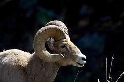 Trophy Bighorn Sheep Ram, Yellowstone National Park