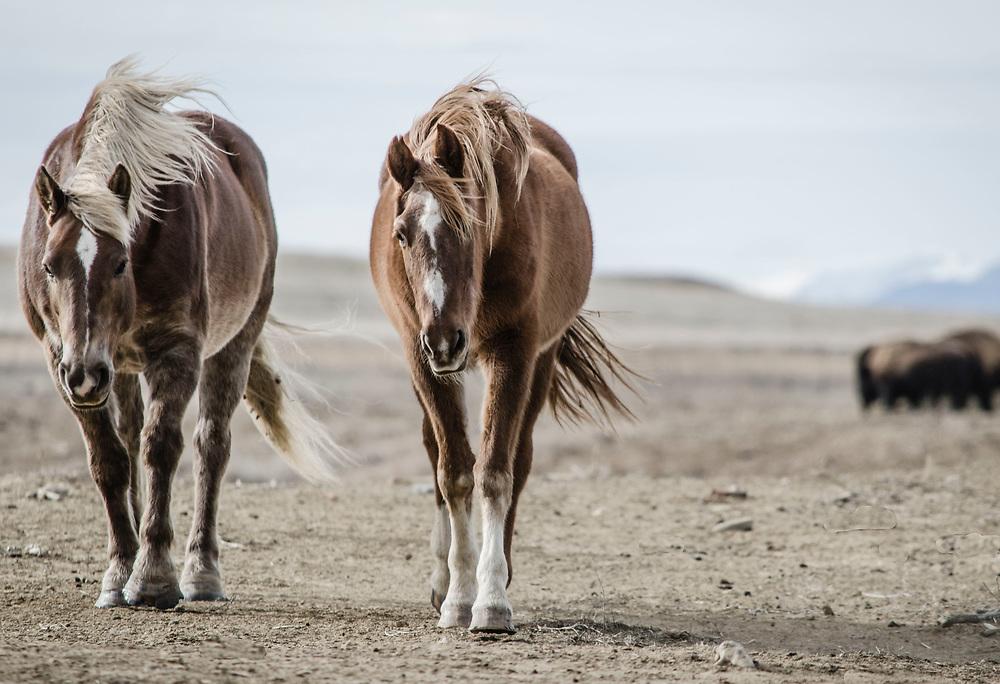"""Fine art photograph of two horses on a dry prarie landscape.<br /> <br /> AVAILABLE AS:<br /> <br /> Size 20"""" x 16"""" (50.8cm x 40.6cm approx)*<br /> Edition of ONLY 100 at this size.<br /> US$350 + shipping<br /> <br /> Hand printed in Taos, New Mexico, USA by Taos Print and Photography Services using archival inks and fine art paper. signed and numbered by hand.<br /> <br /> Contact jim@jimodonnellphotography.com to order"""