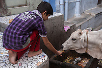 Sacred Cows - In ancient India the slaughter of milk-producing cows was prohibited.  Even when meat-eating was permitted, the ancient Vedic scriptures encourage vegetarianism.  The cow has continued to be revered and protected in India.