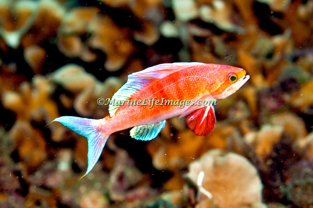 Sailfin Anthias form small groups over flat areas between reefs; picture taken Triton Bay, West Papua, Indonesia.