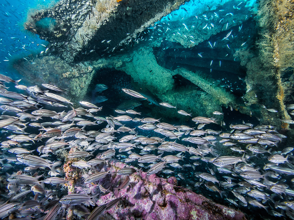 School of tropical fish in the USS Indra Shipwreck in North Carolina, US