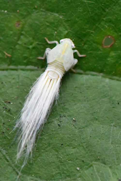 White fuzzy Leafhopper, Cicadellidae sp. sitting on a leaf in East Lake Greenway park, Wuhan, Hubei, China
