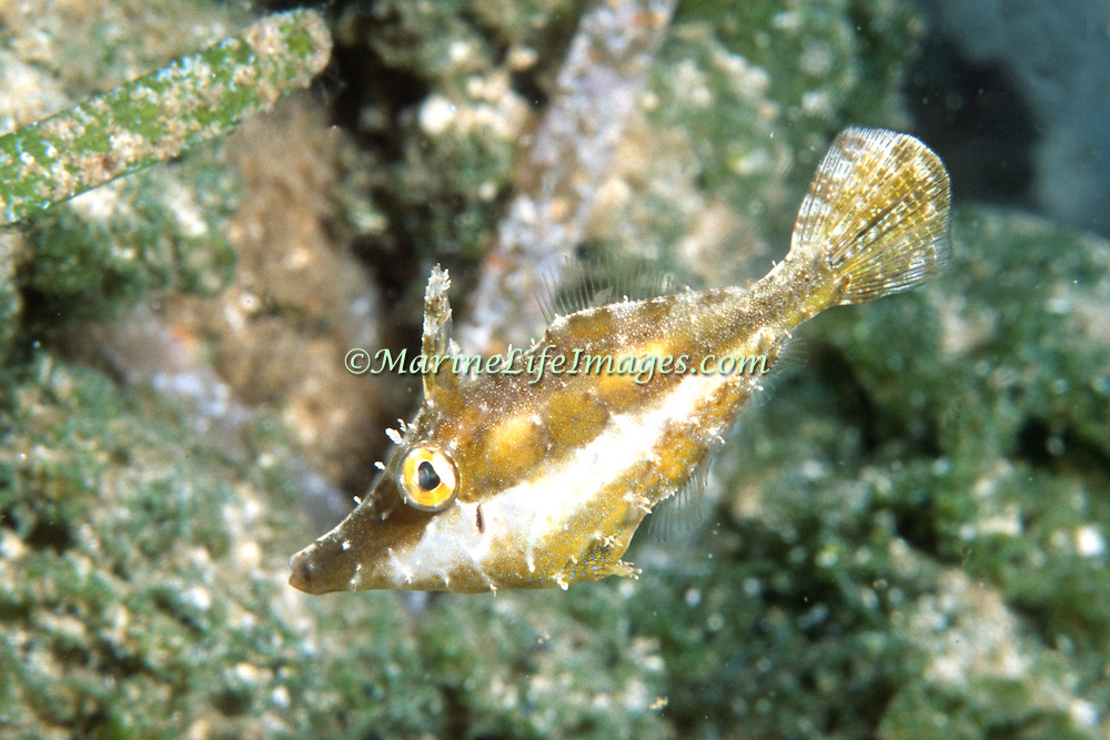 Slender Filefish drift among the branches of gorgonians blending with their surroundings in Tropical West Atlantic; picture taken Grand Cayman.