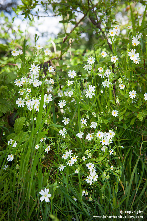 Greater Stitchwort growing in a hedgerow. Stellaria holostea
