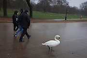 A mature swan waddles on the pavement, on 1st January 2017, at the Serpentine in central London, England.