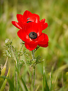 Israel, Golan Heights, Close up of a red poppy anemone or Spanish marigold (Anemone coronaria)