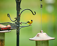 American Goldfinch. Image taken with a NikonD850 camera and 200 mm f/2 VR lens