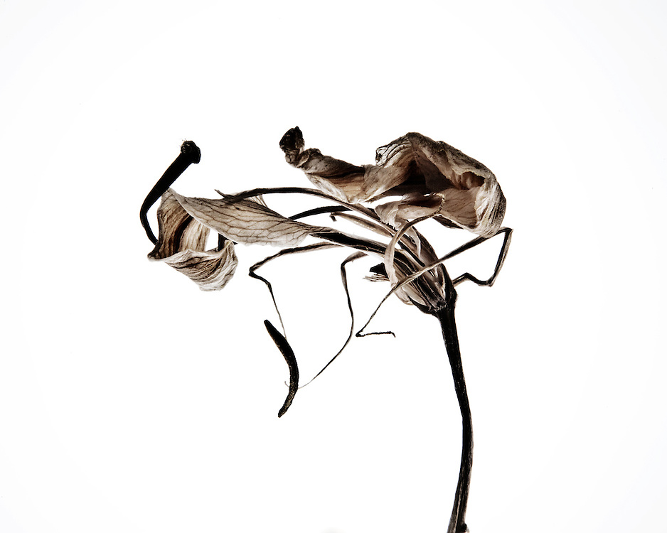 Still life study of a dying Lily