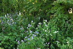 Geranium pratense with foxgloves in the woodland garden at Glebe Cottage