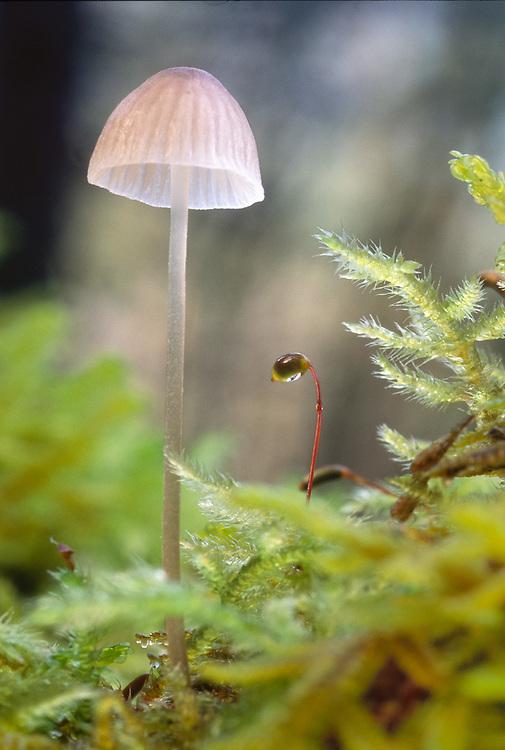 Mushroom and moss on a nurse log, forest understory, Olympic National Park, Washington, USA