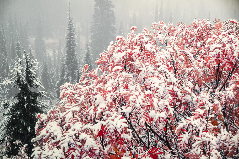 Mountain ash, autumn, Stevens Canyon, Mount Rainier National Park, Washington, USA