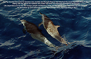 Sailing into St Lucia we were met with a school of dolphins who played with us and surfed our bow wake as we headed north up the island's pristine west coast.<br /> Photo © nic bothma/asi