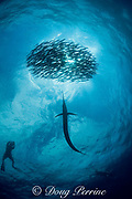 Atlantic sailfish, Istiophorus albicans, attacking bait ball of Spanish sardines (aka gilt sardine, pilchard, or round sardinella ), Sardinella aurita, off Yucatan Peninsula, Mexico ( Caribbean Sea ) MR 406, 407