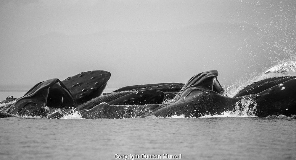 Humpback whales (Megaptera novaeangliae) cooperative feeding using a bubble net, Morris Reef, Point Hayes, Chatham Strait, Southeast Alaska, USA.
