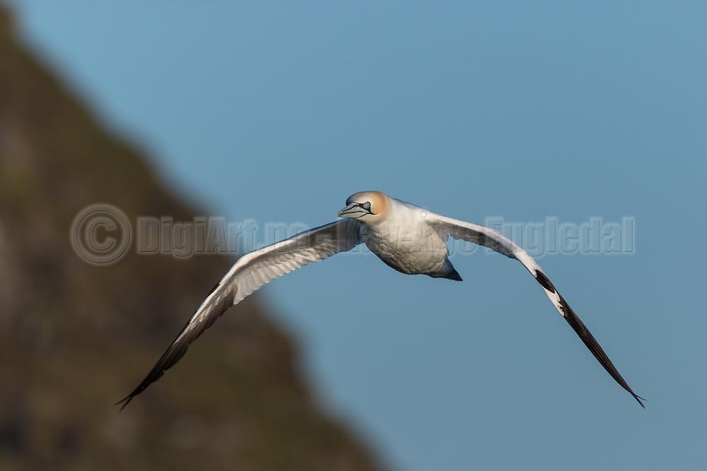 Gannet flying in the air | Havsule som flyr i lufta.