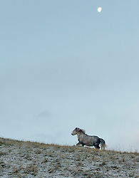 © Licensed to London News Pictures. 18/11/2016. Brecon Beacons National Park, Powys, Wales, UK. Welsh ponies are seen in the wintery landscape in The Brecon Beacons. Freezing temperatures and a bitterly cold wind this morning after a light snow fall last night in the Brecon Beacons in Powys, Wales, UK. Photo credit: Graham M. Lawrence/LNP