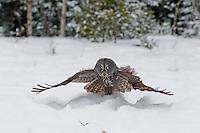 Great Grey Owls in Winter - Ontario Canada
