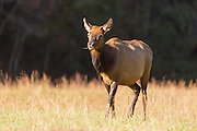 A female elk during the fall rut in the Cataloochee Valley of the Great Smoky Mountains National Park in Cataloochee, North Carolina.