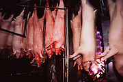 Pigs/Swine/Hog: Just killed pigs pass through a blow torch array to burn off excess hair at the Oscar Mayer Company slaughterhouse in Perry, Iowa. USA.