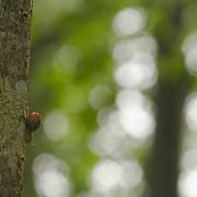 Snales on a tree, St. Dier d'Auvergne; les Martinanches; France; Auvergne;
