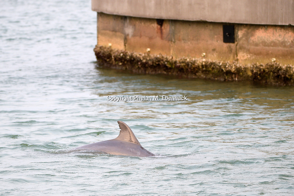 A dolphin swims in the waters of Sarasota Bay behind the home of Dr. Joel Morganroth in Sarasota, Fla., Tuesday, Jan. 6, 2015. The home was designed to take advantage of the water view, where dolphins can be seen regularly swimming behind the house. (Photo by Phelan M. Ebenhack)