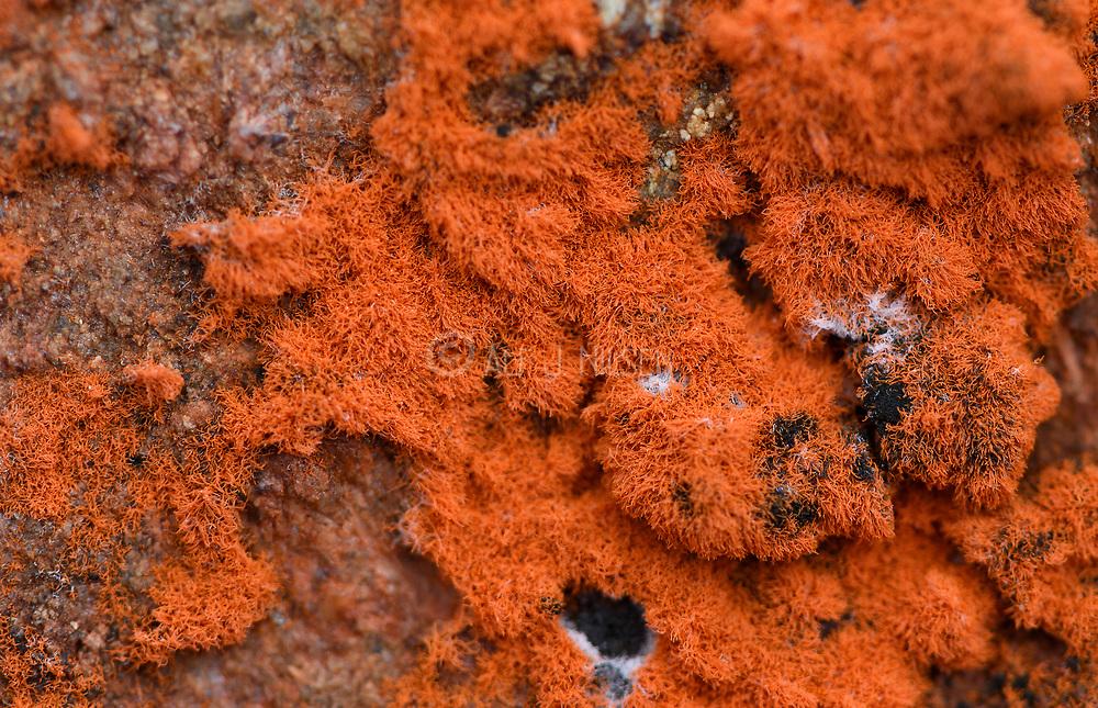 Wasp net slime mold (Metatrichia vesparium) from Lierne National Park (Trøndelag, Norway).