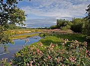 Himalayan balsam plants growing on the banks of the River Taw, Devon, U.K.