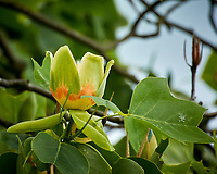 Tulip Tree flower. Image taken with a Nikon N1V3 camera and 70-300 mm VR lens (ISO 400, 300 mm, f/5.6, 1/400 sec).
