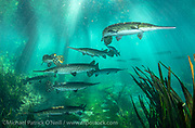 Longnose Gar, Lepisosteus osseus, gather in the currents of the Ichetucknee Springs State Park in North Florida.