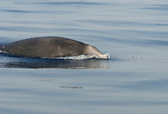 Cuvier's Beaked Whale Ziphius cavirostris Length 6-7m. Deep-water cetacean that feeds on squid. Body is usually creamy-grey and scarred paler. Heada is proportionately large with a bulbous forehead. Lower jaw protrudes beyond upper jaw; in males the lower jaw has two protruding teeth.
