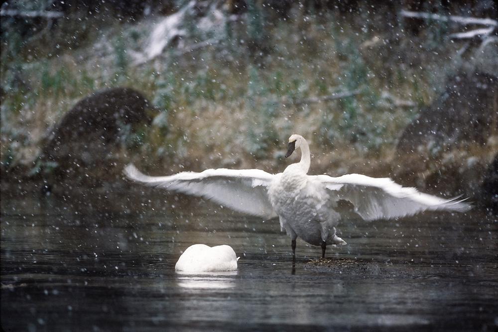 Trumperter swan, winter, Madison River, Yellowstone National Park, Wyoming, USA