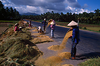 """Rice harvest in full swing along Highway 1 in Vietnam<br /> Available as Fine Art Print in the following sizes:<br /> 08""""x12""""US$   100.00<br /> 10""""x15""""US$ 150.00<br /> 12""""x18""""US$ 200.00<br /> 16""""x24""""US$ 300.00<br /> 20""""x30""""US$ 500.00"""