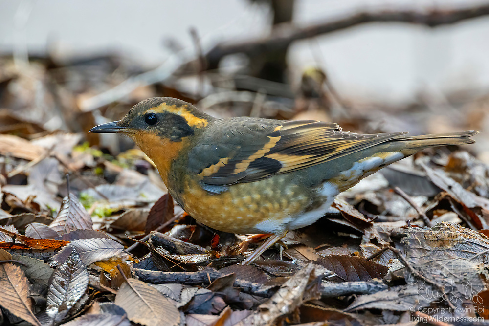 A varied thrush (Ixoreus naevius) forages among the fallen autumn leaves on the forest floor in Lynnwood, Washington.