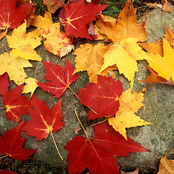 Russell Pond Tr., Baxter S.P., ME. Foliage. Close-Ups. A collection of maple leaves.