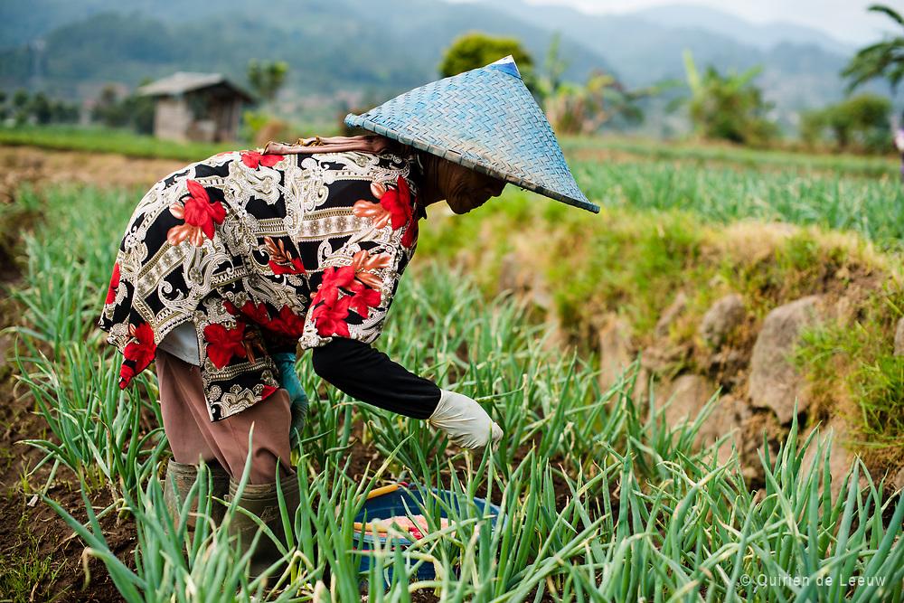 Woman at work in a sawah field. Parahyangan highlands, Java, Indonesia