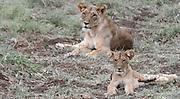 Kenya, Samburu, Lioness and cub