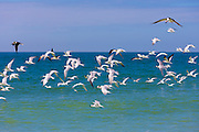 Flock of Shorebirds and Waders - Skimmers, Willets, Terns - in flight above shoreline of the coast at Captiva Island, Florida, USA
