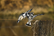 Israel, coastal plains 2 Pied Kingfisher (Ceryle rudis) female on the left and male on the right