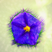 Digitally manipulated purple garden flower