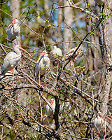 White Ibis (Eudocimus albus). Loop Road. Big Cypress National Monument. Image taken with a Fuji X-T2 camera and 100-400 mm OIS lens.
